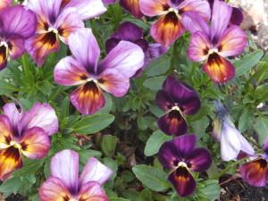 Silverton Tulips 017