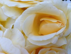 Rose Garden July 2014 060