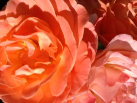 Rose Garden July 2014 015