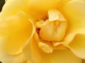 Rose Garden July 2014 019