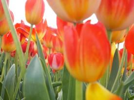 Silverton Tulips 215
